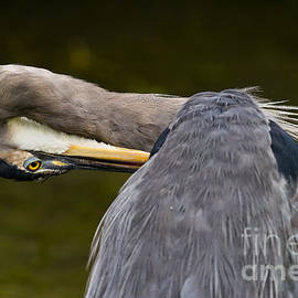 Heron  Images - Blue Heron Pictures 48