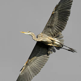Heron  Images - Blue Heron Pictures 5