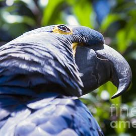 Sharon Mau - Blue Hyacinth Macaw - Anodorhynchus hyacinthinus - Kailua Maui Hawaii
