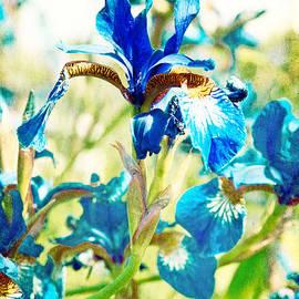 Lali Kacharava - Blue Irises on old postcard