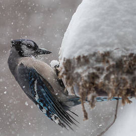 Patti Deters - Blue Jay in a Snow Storm