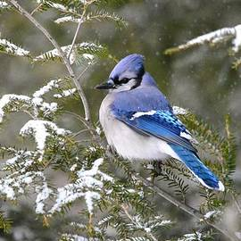 Judy Genovese - Blue Jay in the Pines