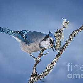 World Wildlife Photography - Blue Jay Pictures 356