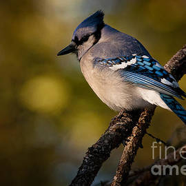 World Wildlife Photography - Blue Jay Pictures 362