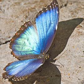 Walter Herrit - Blue Morpho Butterfly 1
