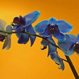 Kazimiera Wojtowicz Maslikowski - Blue Orchids