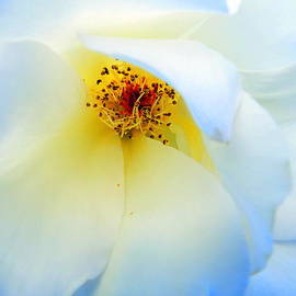 Selma Glunn - Blue Ribbon Rose