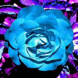 Joseph Coulombe - Blue Rose Bordered in Purple