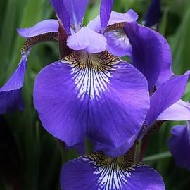 Bruce Bley - Blue Siberian Iris