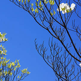 Baslee Troutman Nature Art Prints - Blue Sky Art Prints Spring Dogwood Flowers Branches