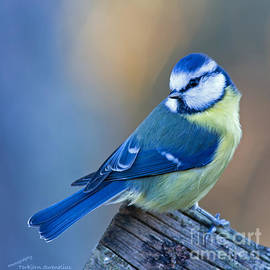 Torbjorn Swenelius - Blue Tit looking behind