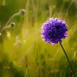 Anne Macdonald - Blue Wild Flower Called Sheeps Bit