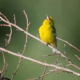 Bill  Wakeley - Blue-Winged Warbler