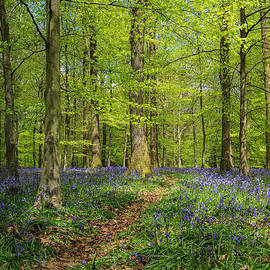 David Tinsley - Bluebell Path