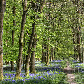 David Tinsley - Bluebell Walk
