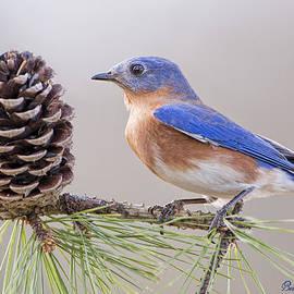 Bonnie Barry - Bluebird on Pine Branch