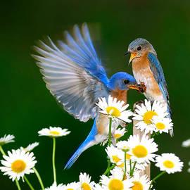 Randall Branham - Bluebirds and Daisies