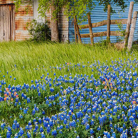 Silvio Ligutti - Bluebonnets swaying gently in the wind - Brenham Texas
