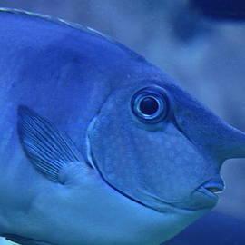 Karon Melillo DeVega - Bluespine Unicorn fish