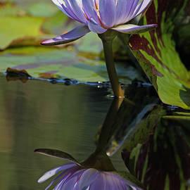 Suzanne Gaff - Blush of Purple Water Lily