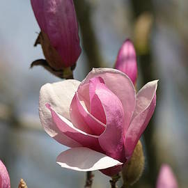 Living Color Photography Lorraine Lynch - Blushing Magnolia