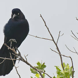Byron Snider - Boat Tailed Black Grackle