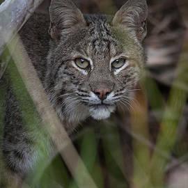 W Chris Fooshee - Bobcat in the back yard.