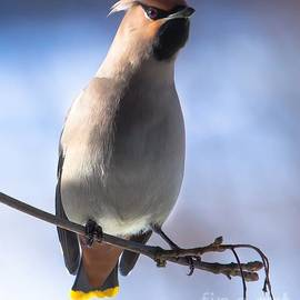 Rose-Maries Pictures - Bohemian Waxwing blue