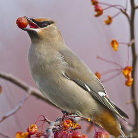 John Vose - Bohemian Waxwing with Fruit