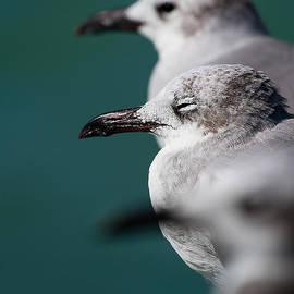 Mr Bennett Kent - Bokehliceous Gulls Florida Keys