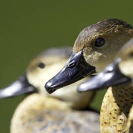 Mr Bennett Kent - Bokehlicious Ducks