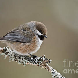 World Wildlife Photography - Boreal Chickadee Pictures 37