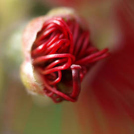Michaela Perryman - Bottlebrush Bud