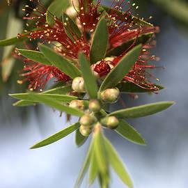 Joy Watson - Bottlebrush Flower