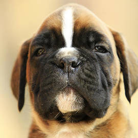 Dan Radi - Puppy boxer dog