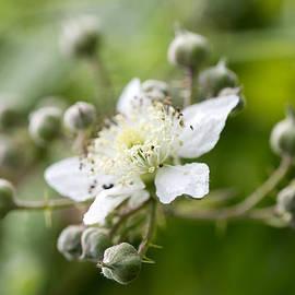 Steven Poulton - Bramble Flower