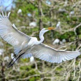 Kathy Baccari - Breeding Great Egret In Flight