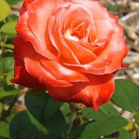 Sara  Raber - Brigadoon Rose