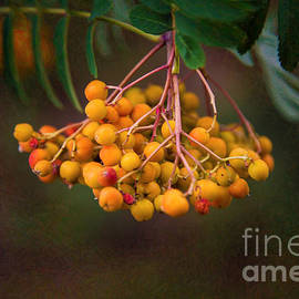 Omaste Witkowski - Bright Bursting Berries Garden Art by Omaste Witkowski
