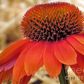 Janice Drew - Bright Orange Coneflower