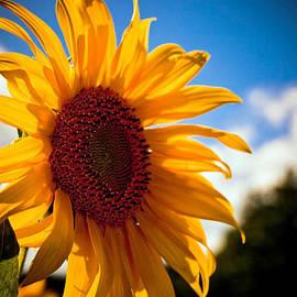 Andrew Bloom - Bright Sunflower