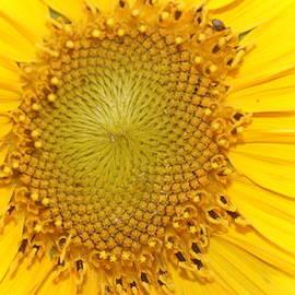 Rob Luzier - Bright sunflower.