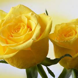 Terence Davis - Bright Yellow Roses.