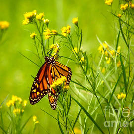 Jerry Cowart - Brightly Colored Monarch Butterfly In A Meadow Of Yellow Flowers