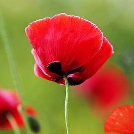 Rona Black - Brilliant Red Poppy Flower