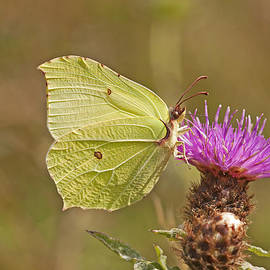 Paul Scoullar - Brimstone on Creeping Thistle