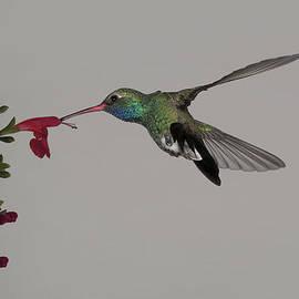 Gregory Scott - Broadbill and Salvia