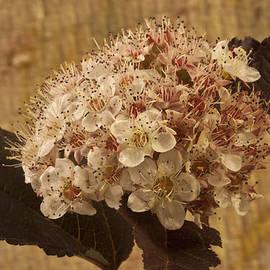 Sandra Foster - Bronze Leafed Spirea Blossom Macro
