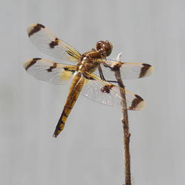 Teal Blackwell - Brown and Yellow Dragonfly on a Twig