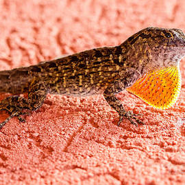 Dawna  Moore Photography - Brown Anole Dewlap Display